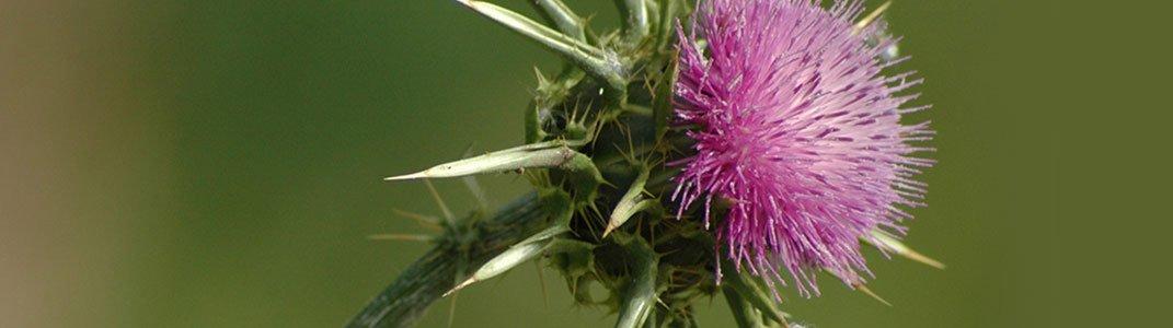 Ostropest plamisty - dobroczynne nasiona