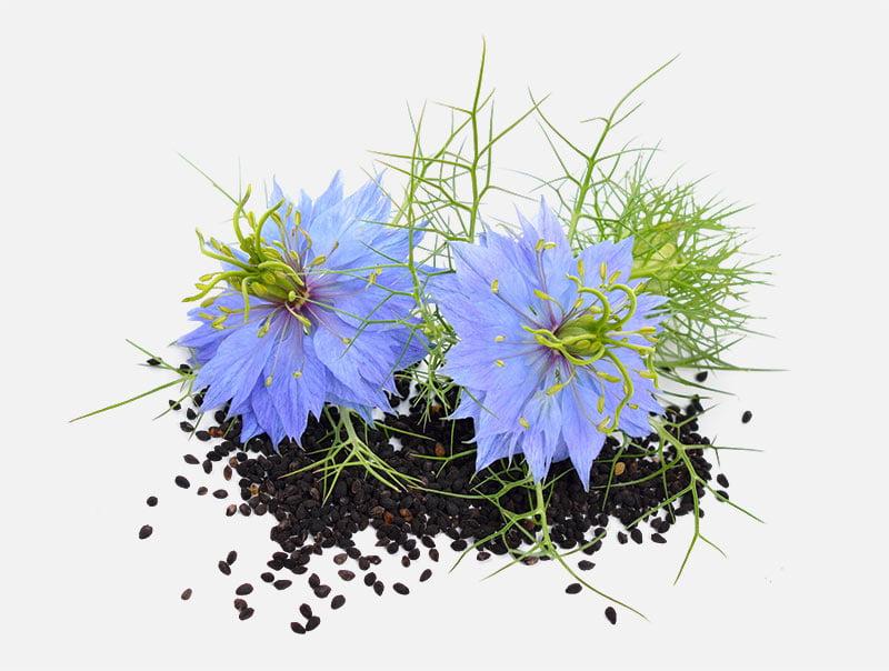 Nigella Sativa - nasiona czarnuszki siewnej