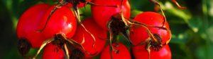 Olejek z pestek dzikiej róży